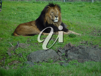 Lion Pictures, Photos and Photographs