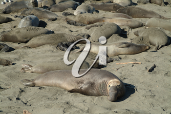 Stock Image of Elephant Seals Lounging On a Beach