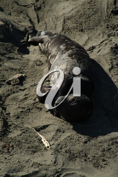 Stock Photography of a Baby Elephant Seal