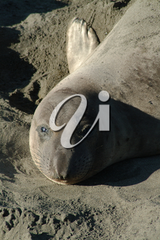 Stock Image of an Elephant Seal At Pt Piedras Blanca