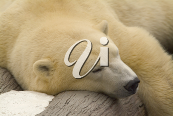 Stock Photo of a Lazy Polar Bear Taking a Nap