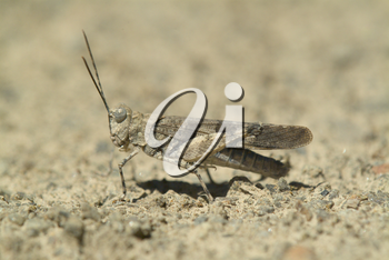 Grasshopper - Cricket Stock Photo
