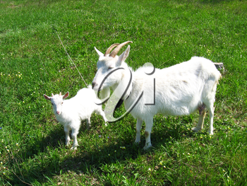 Goat and kid on the green pasture