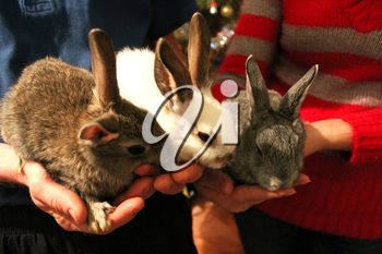 brood of the three rabbits in the hands of man and woman