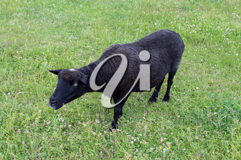 the image of black sheep grazing on grass