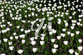 image of white tulips on the flower-bed