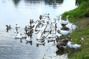 flight of young white geese swimming on the water