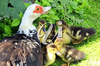 Muscovy duck hen with its amusing ducklings going on the grass in the poultry