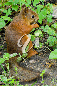 squirrel sits in the grass and eats nuts