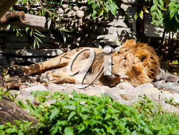 asiatic lion sleeping outdoors in summer day