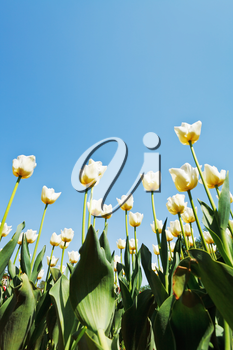 view from below of decorative tulips on flower bed on blue sky background