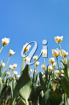 view from below of ornamental white tulips on flowerbed on blue sky background