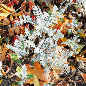 Jacobaea maritima SilverDust plant and leaf litter in autumn