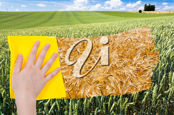 season concept - hand deletes green wheat ears by yellow cloth from image and yellow ripe wheat ears are appearing