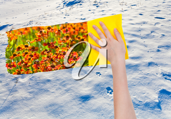 season concept - hand deletes snowy wild area by yellow cloth from image and meadow with red flowers are appearing