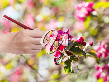 gardening concept - hand with paintbrush paints red flowers on apple tree in spring