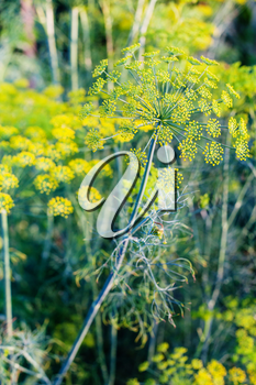 yellow blossoms of dill herb in vegetable garden
