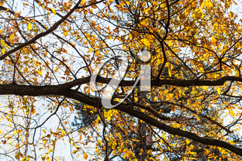 oak branch with yellow leaves in urban park in sunny autumn day
