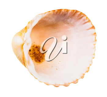 empty orange shell of cockle isolated on white background