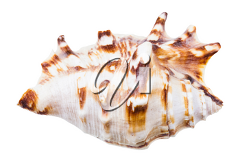 seashell of sea snail isolated on white background