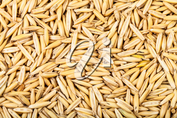 cereal background - unpeeled seeds of cultivated oat