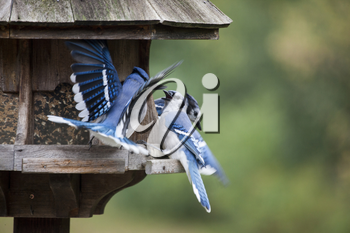 Blue Jay at feeder in Ontario Canada