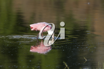 Rosette Spoonbill and its reflection in Florida waters