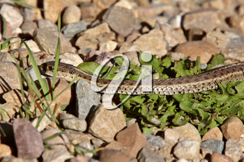 Gopher Snake amongst rocks