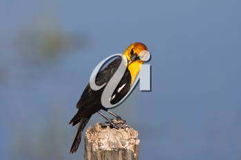 Male Yellow headed Blackbird perched on post