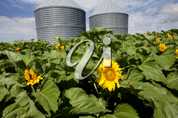 Sunflower Field Manitoba yellow flower blue sky
