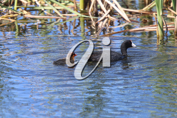 American Coot and baby waterhen in pond Canada