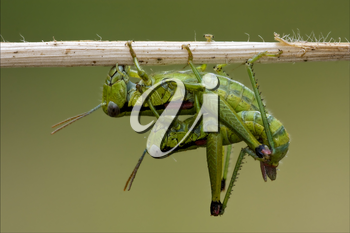 close up of two grasshopper Orthopterous having sex on a piece of branch in the bush