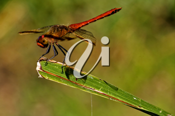 wild red dragonfly on a piece of leaf  in the bush