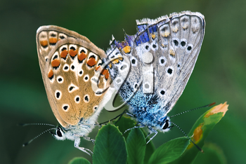two butterly in love in the green,a close up