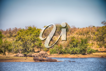 blur in south africa    kruger  wildlife  nature  reserve and  wild hippopotamus