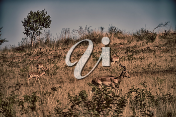 blur in south africa    kruger     wildlife  nature  reserve and  wild  impala