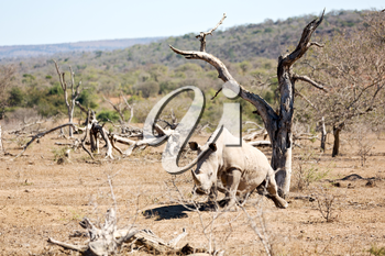 blur in south africa   kruger  wildlife    nature  reserve and  wild rhinoceros