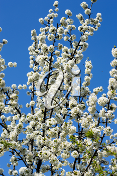 the blossoming fruit tree against the sky, the blue sky