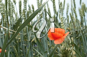 Red wild poppy flower among ears of wheat during ripening close-up
