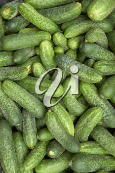Fragment of a pile of fresh green cucumbers appetizing
