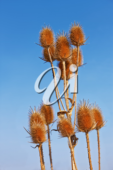 Dried thistle flowers (in Latin: Dipsacus laciniatus) on the background of blue cloudless sky in autumn