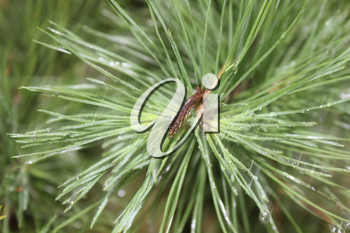 Drops of dew on the pine needles 20086