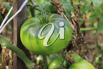 Green tomatoes growing on branches in the garden 20559