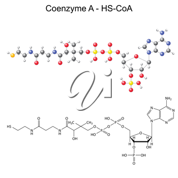 Structural chemical formula and model of Coenzyme-A - HS-CoA, 2d and 3d illustration, vector, eps 8
