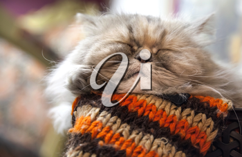Long-haired Persian cat sleeps with comfort on the woolen striped scarf