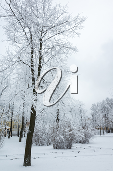 Trees covered with snow and frost in winter park. Vertical background photo