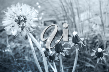Blooming dandelion flower on the lake coast, blue toned photo with selective focus
