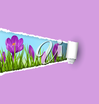 Green grass lawn with violet crocuses and ripped paper sheet isolated on violet. Floral nature spring background