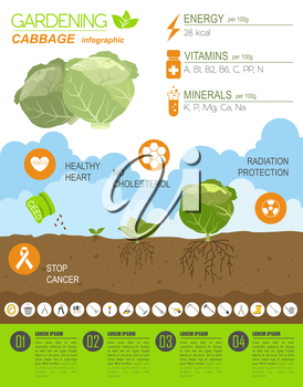 Gardening work, farming infographic. Cabbage. Graphic template. Flat style design. Vector illustration