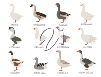 Poultry farming. Goose breeds icon set. Flat design. Vector illustration